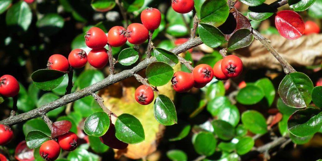 l'épine-vinette est une source naturelle de berbérine