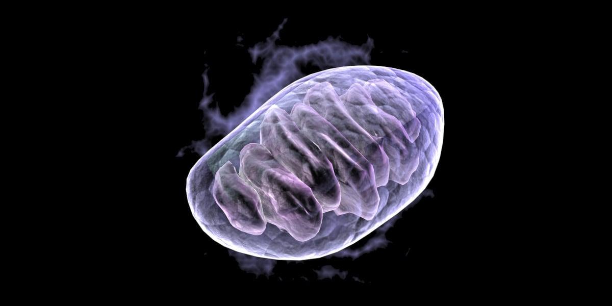 L'AMPK déclenche la production de nouvelles mitochondries (représenté)